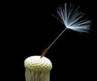 Bald dandelion Stock Images