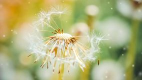 Bald dandelion closeup on blurred background with a filter or effect. Cinemagraph seamless loop animation motion gif render background stock video footage