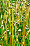 Bald dandelion. Stock Photo