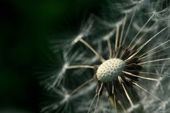 Bald dandelion with dark green background Royalty Free Stock Photos