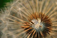 Bald dandelion Stock Photos