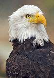 Bald eagle 1 Stock Images