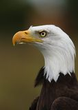 Bald Eagle. Portrait of a Bald Eagle Royalty Free Stock Photo