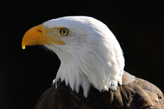 Bald Eagle. Close-up portrait of an American Bald Eagle on a sunny day Royalty Free Stock Photos
