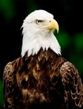 Bald Eagle. Portrait of a Bald Eagle stock photo