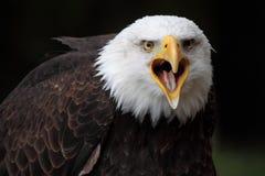 Bald eagle. A beautiful and wild bald eagle Royalty Free Stock Photo