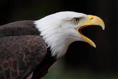 Bald eagle. A beautiful and wild bald eagle Stock Photo