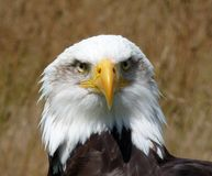 Bald Eagle. A very intense Bald eagle portrait stock photos