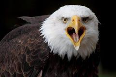 Bald eagle. A portrait of the head of a great bald eagle Stock Image