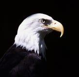 Bald Eagle. Profile of the Bald Eagle; black background Royalty Free Stock Image