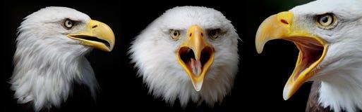 Bald eagle. Three portraits of three fantastic bald eagles Royalty Free Stock Images