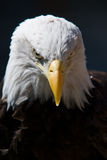 Bald Eagle. A Bald Eagle looking at you on a dark background Stock Photo