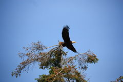 Bald Eagle. A Bald Eagle lifts off from a favourite perch tree royalty free stock image