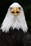 Bald eagle. Is waiting for some food Royalty Free Stock Photography