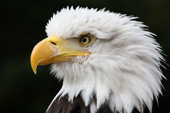 Bald eagle. Is waiting for some food stock images