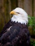 Bald Eagle Stock Photography