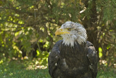 Bald eagle. Close up of a bald eagle (about 4 years Stock Photography