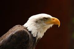 Bald Eagle. Portrait of a male Bald Eagle Stock Image