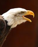 Bald Eagle. Portrait of a male Bald Eagle calling Royalty Free Stock Photo