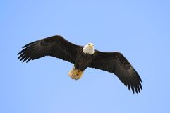 Bald Eagle. In Flight Overhead in Alaska Sky Royalty Free Stock Image