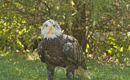 Bald eagle. About 4 years old, on the ground Stock Image