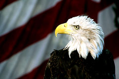 Bald Eagle. Against american flag background Stock Photography
