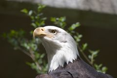 Bald Eagle. Close-up of a Bald Eagle Royalty Free Stock Images