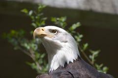 Bald Eagle. Close-up of a Bald Eagle royalty free stock images