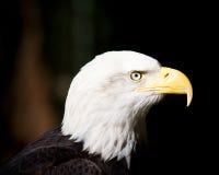 Bald eagle. Close up of a bald eagle head Stock Image