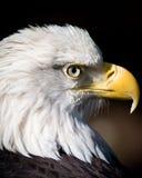 Bald eagle. Close up of a bald eagle head Stock Photo
