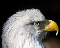 Bald eagle. Close up of a bald eagle head Royalty Free Stock Image