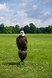 Bald eagle. On the grass field Stock Images