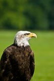 Bald eagle. On the grass field Stock Photography