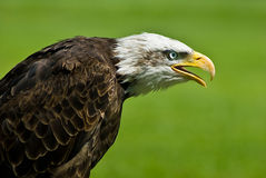 Bald eagle. On the grass field Royalty Free Stock Images