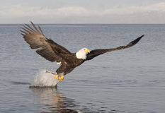 Bald Eagle. Catching fish in Alaska Royalty Free Stock Photos