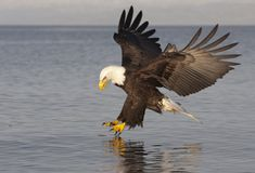 Free Bald Eagle Royalty Free Stock Photography - 13530107