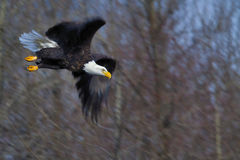 Bald Eagle. A bald eagle diving down to catch a prey Stock Photography