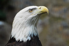 An American Bald Eagle Royalty Free Stock Photo