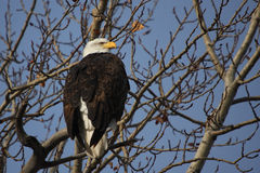 Bald Eagle. In the branches, a Bald eagle looking for prey. taken in edmonton canada Royalty Free Stock Photography