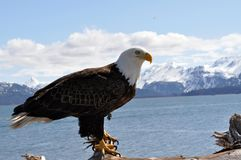 Bald Eagle. Posing with mountain background Royalty Free Stock Photography