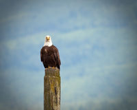 Bald Eagle. Looking for fishes from a stump Stock Photos