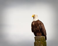 Bald Eagle. Looking for fishes from a stump Royalty Free Stock Images