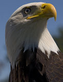 Bald Eagle. Photo of a North American Bald Eagle royalty free stock photography