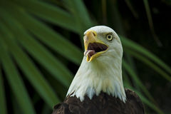 Bald eagle. Portrait of bald eagle bird with mouth open leafy green background Stock Photo