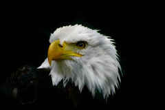 Bald eagle. From NP in Germany Royalty Free Stock Photography