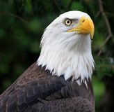 The Bald Eagle. (Haliaeetus leucocephalus) is a bird of prey found in North America. It is the national bird and symbol of the United States of America. This Royalty Free Stock Images