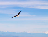 Bald eagle. In flight in the blue sky Stock Images