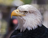 Bald eagle. Portrait of an American bald eagle Royalty Free Stock Image