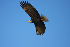 Bald Eagle Stock Image