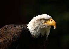 Bald Eagle. Portrait of a male Bald Eagle Stock Photography